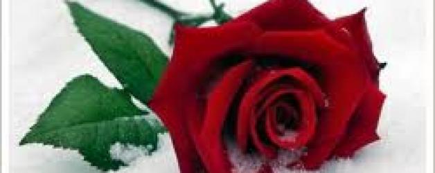 Rose a dicembre